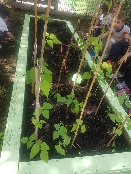 la pianta di fagiolo (6)
