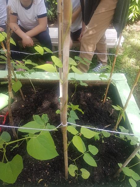la pianta di fagiolo (7)